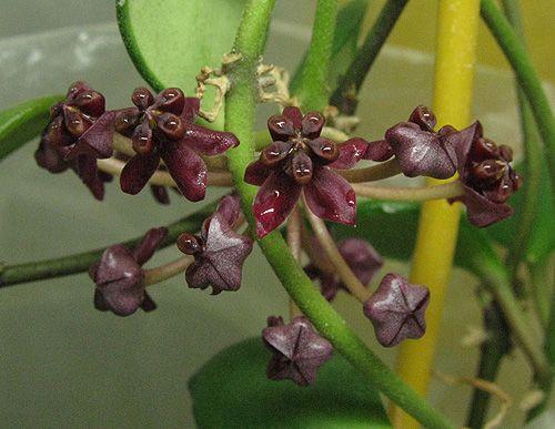 Hoya carmelae NS 05-244 IMG_8367---14.03_zpsubrin3uy