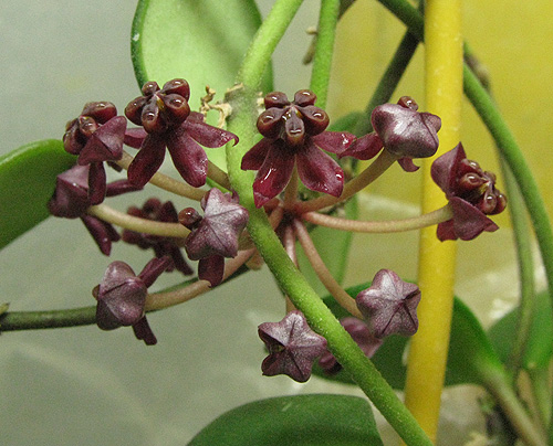 Hoya carmelae NS 05-244 IMG_8396----14.03_zpstfh7gunz