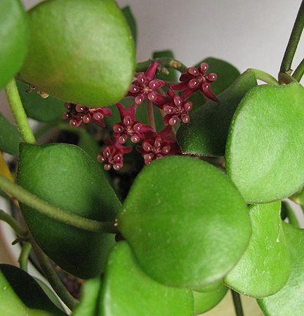 Hoya carmelae NS 05-244 IMG_926528.03_zpsgajuxnzg