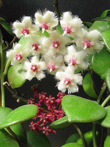 Hoya carmelae NS 05-244 - Pagina 2 IMG_9495----_zpsypmyan5r