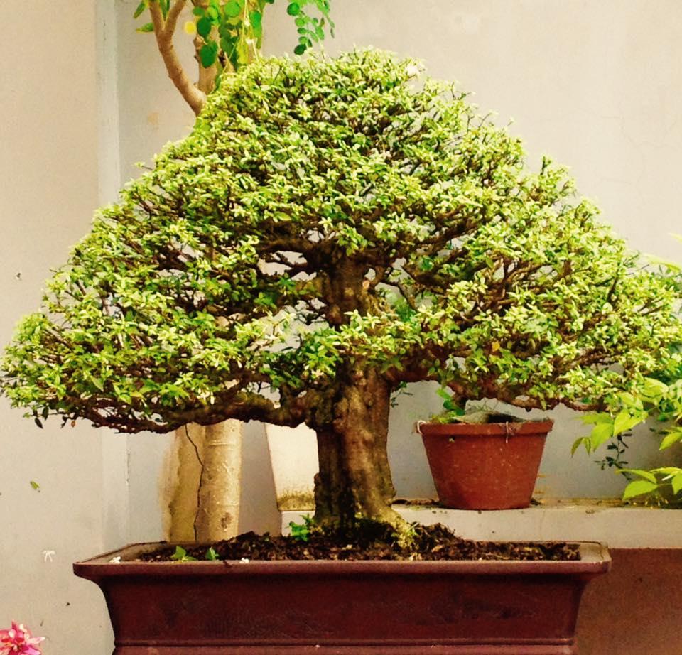 Wrightia religiosa ( small leaves ) 2a_zpsv7iqzvja