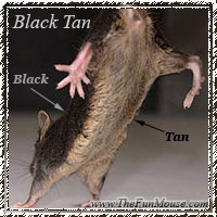 Mouse Genetics Blacktan2_zpsahwnib1a