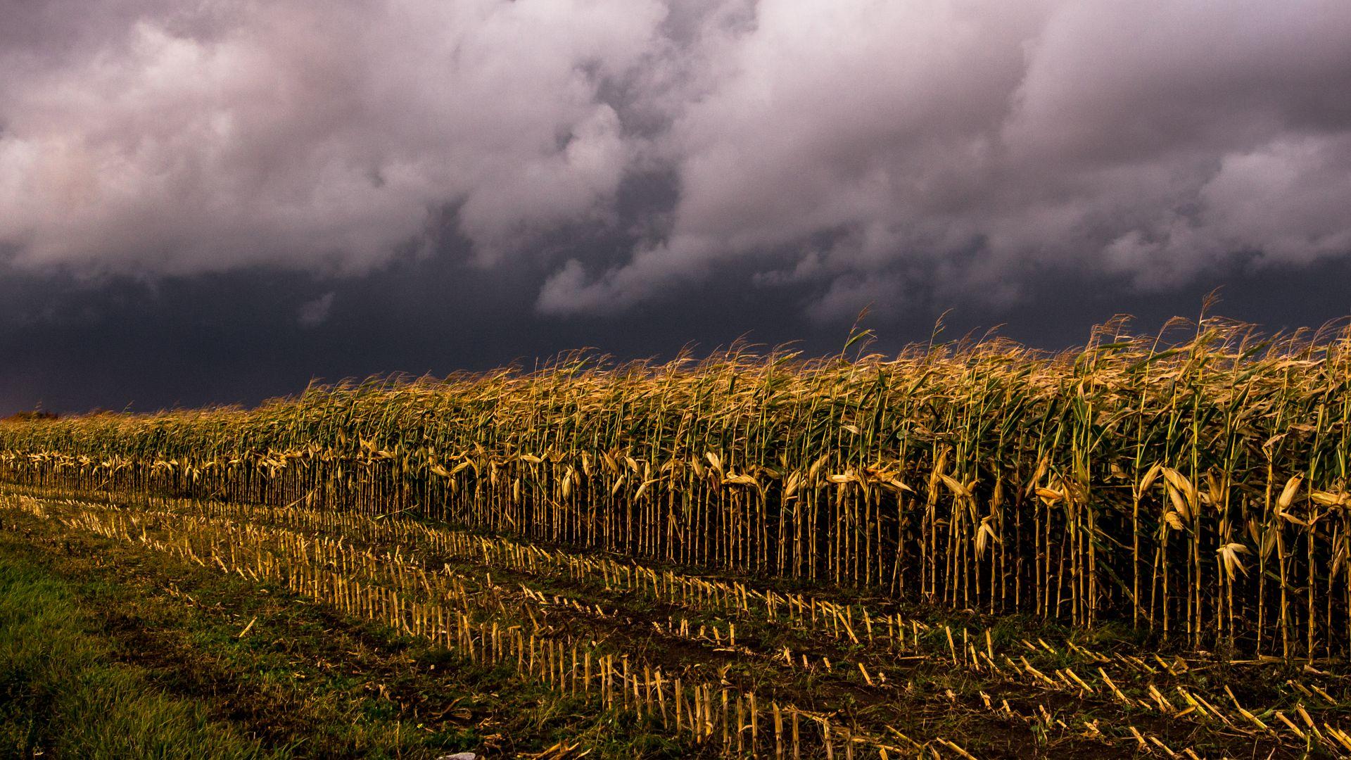Champs de maïs avant l'orage à l'Île d'Orléans Ileautomne158_zps35e3aa5d