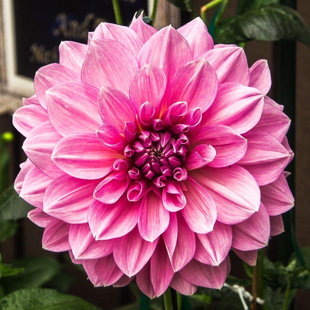 Simple fleur... Vancouver%2051_zpsxxsdndwq