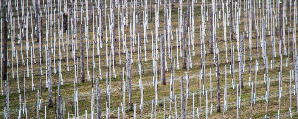 Vignoble de Ste-Pétronille (Île d'Orléans) Ile%2037_zpsffrf9sit