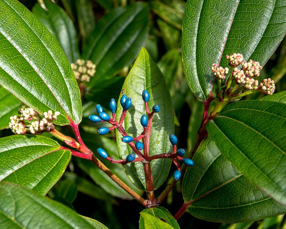 Cerisier du Japon et viorne Vancouver2015-44_zpscjolhoci