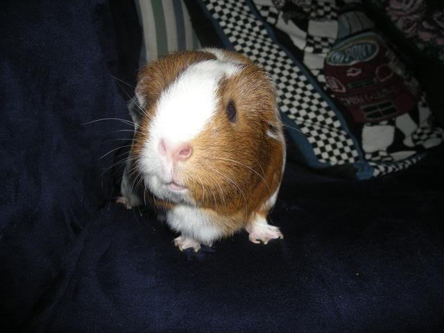 My guinea pigs DSCN1943