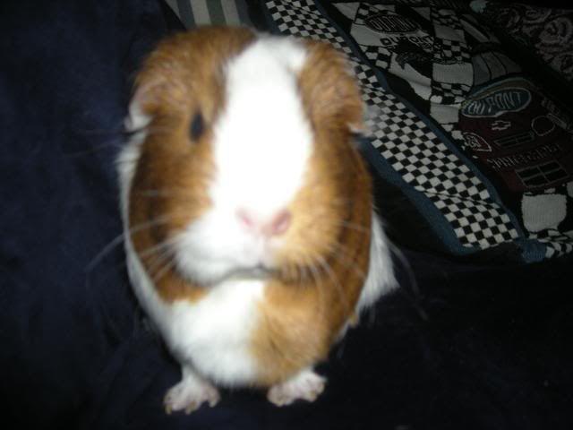 My guinea pigs DSCN1946
