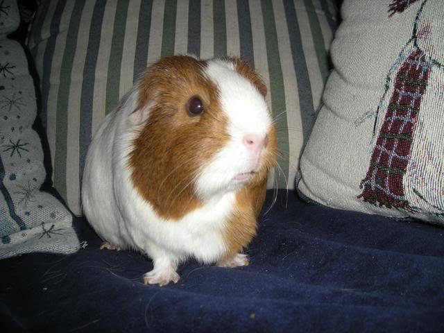 My guinea pigs DSCN1957