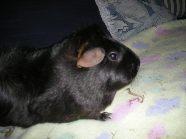 My guinea pigs DSCN1959