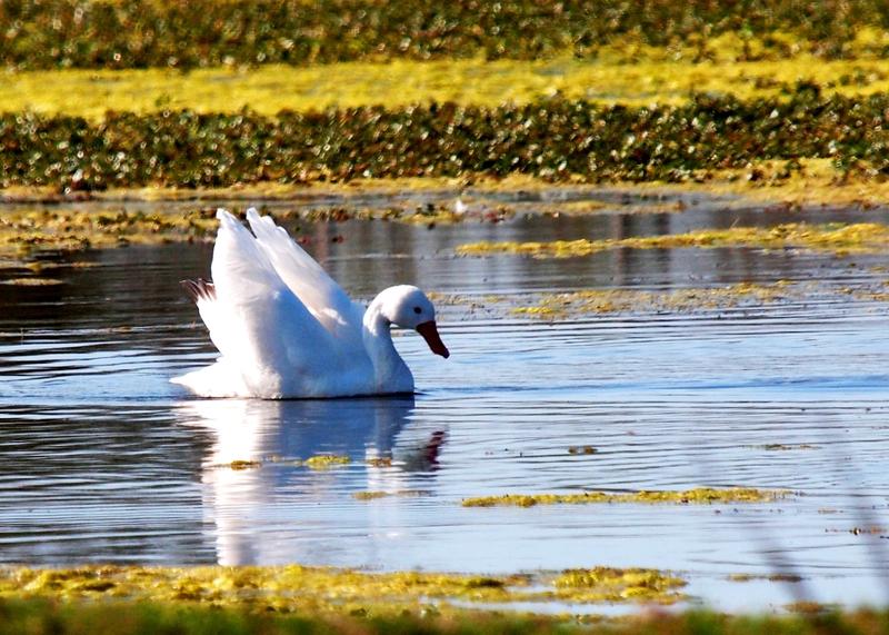 Coscoroba blanc au petit barrage (AJOUTE) P9191561_zpsx56w9ycn