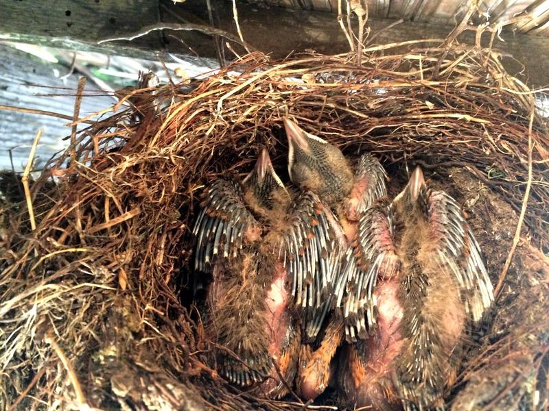 Turdus rufiventris au nid(Ajoutte) IMG_8491_zpsoijprssm