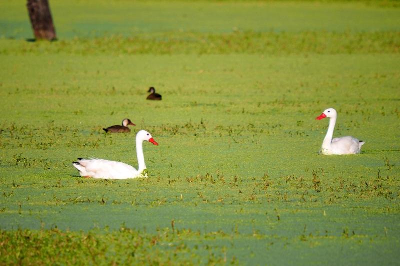 Coscoroba blanc au petit barrage (AJOUTE) P3250004_zpsneygd6xj