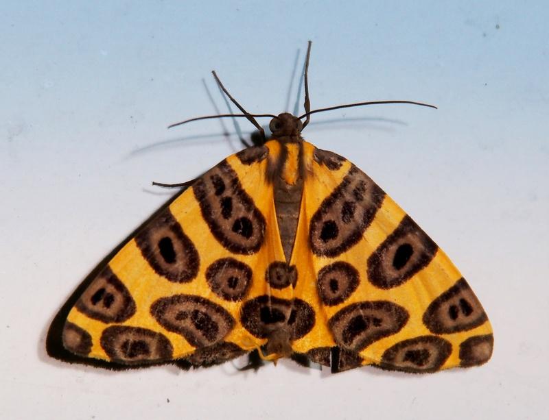 Pantherodes pardalaria P4130020_zpsrlslxy3w
