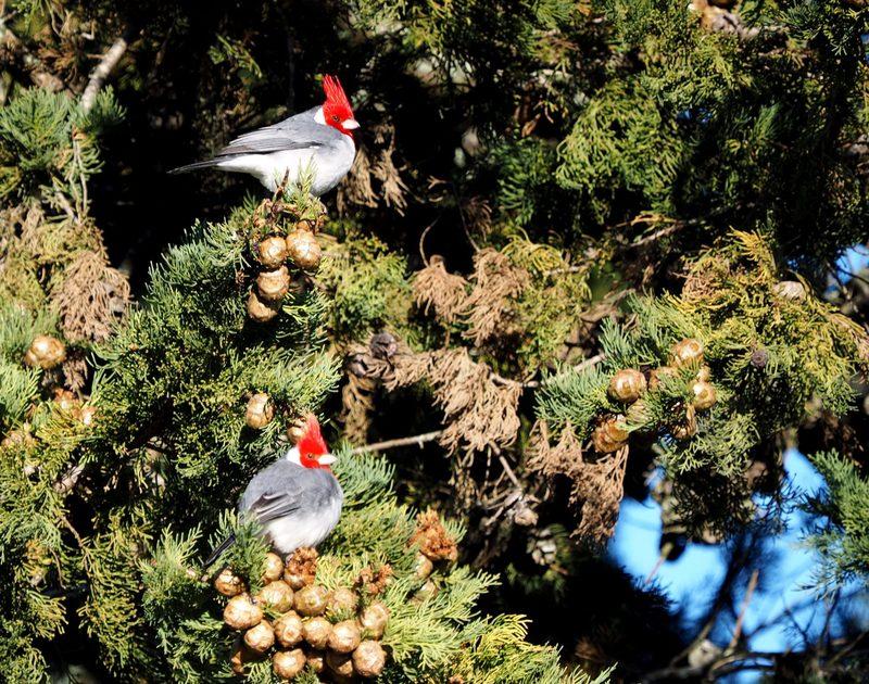 Paroaria coronata(Cardinal) P7170003_zpsctispyul