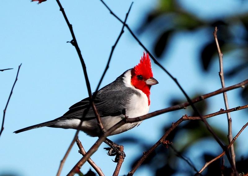 Paroaria coronata(Cardinal) P7170018_zps15vtcpat