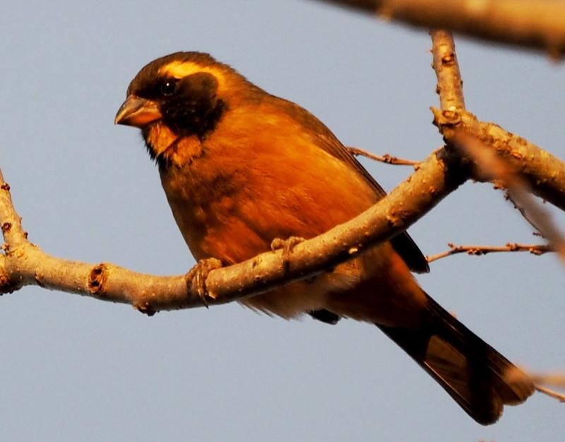 Saltator à bec orange P7190016_zpsxrmwylfr