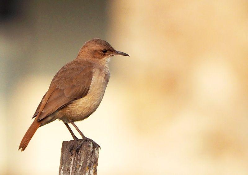 Quelques oiseaux P7260022_zpswxmw0zsn
