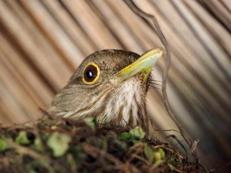 Turdus rufiventris au nid(Ajoutte) PB010026_zpshi03aypo