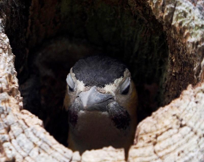 Le nid des pics(Ajoute)++ PB070025_zps9ndvsnoo