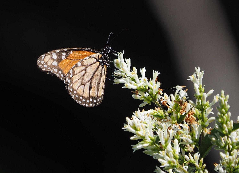Et un papillon sur une plante PB090016_zpsdxrw3zxu