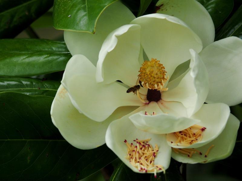Magnolias!! PB110017_zpsednir2wu