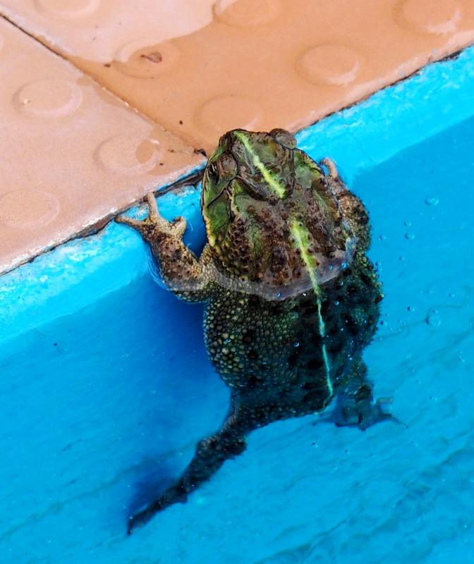 Crapauds et grenouilles!!(Ajoute une) PC260014_zpsxlqogpsw