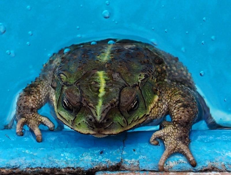 Crapauds et grenouilles!!(Ajoute une) PC260015_zpsuxrtevvm