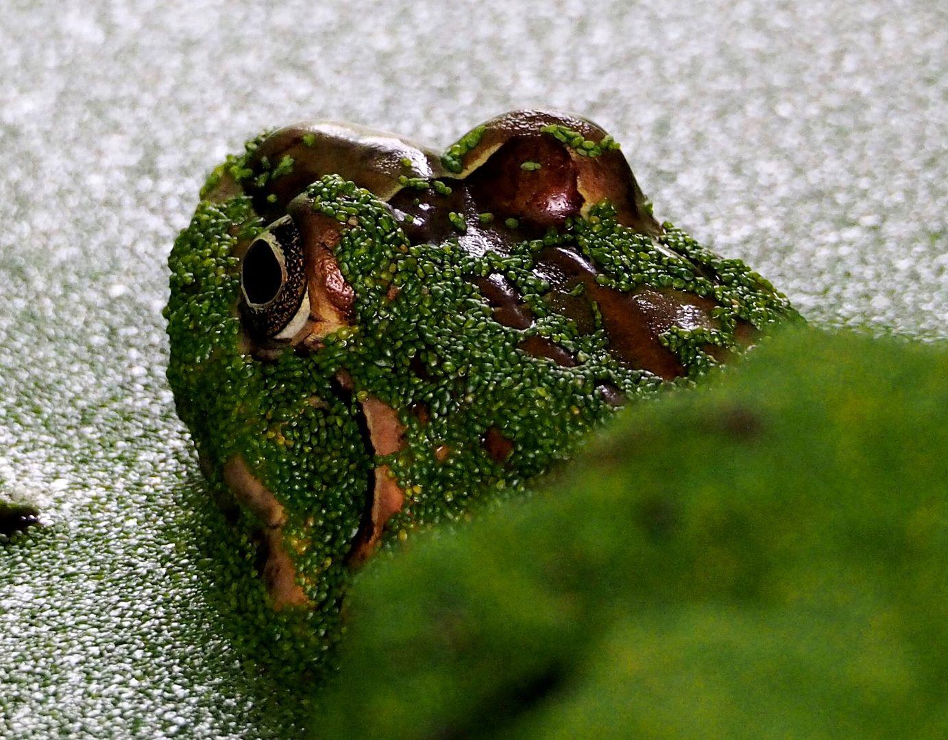 Crapauds et grenouilles!!(Ajoute une) PC270002_zpsxs3s3rvm
