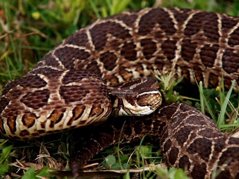 Bothrops alternatus,serpent au jardin(Ajout) PA042062