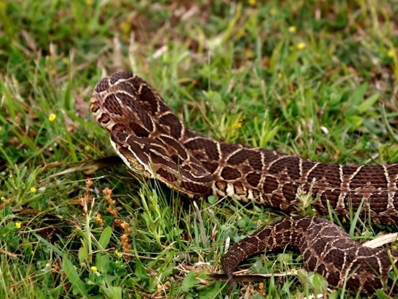 Bothrops alternatus,serpent au jardin(Ajout) PA042063