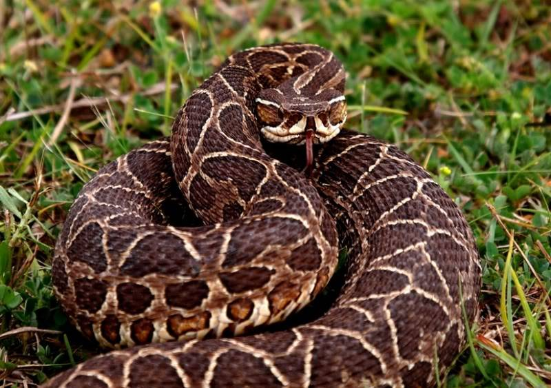 Bothrops alternatus,serpent au jardin(Ajout) PA042065