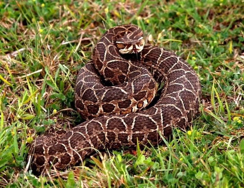 Bothrops alternatus,serpent au jardin(Ajout) PA042066