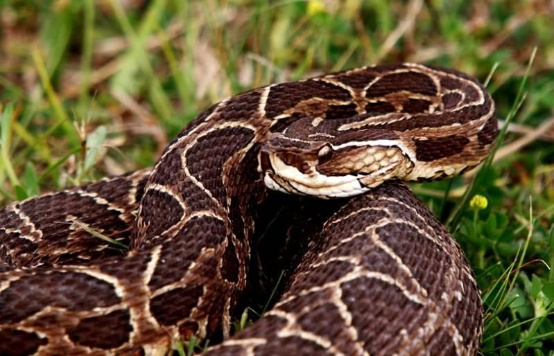 Bothrops alternatus,serpent au jardin(Ajout) PA042067