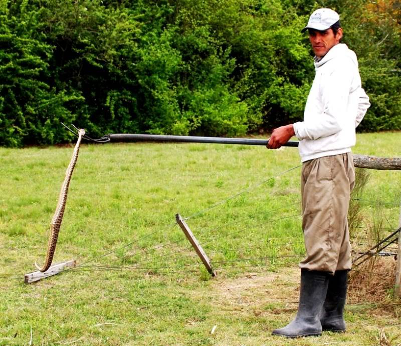 Bothrops alternatus,serpent au jardin(Ajout) PA042072
