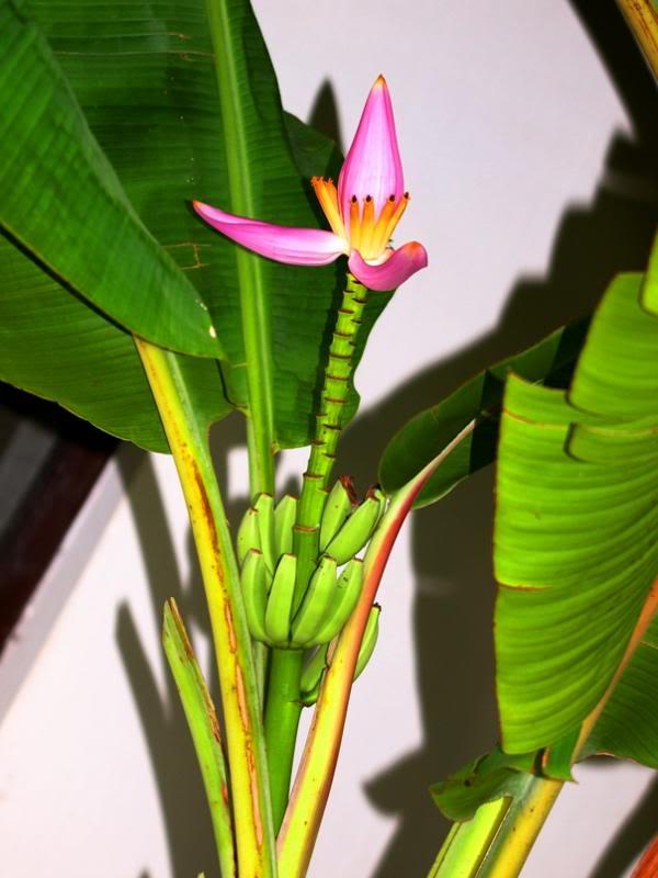 Fleur de banannier!! P3182902_zps772ceda2