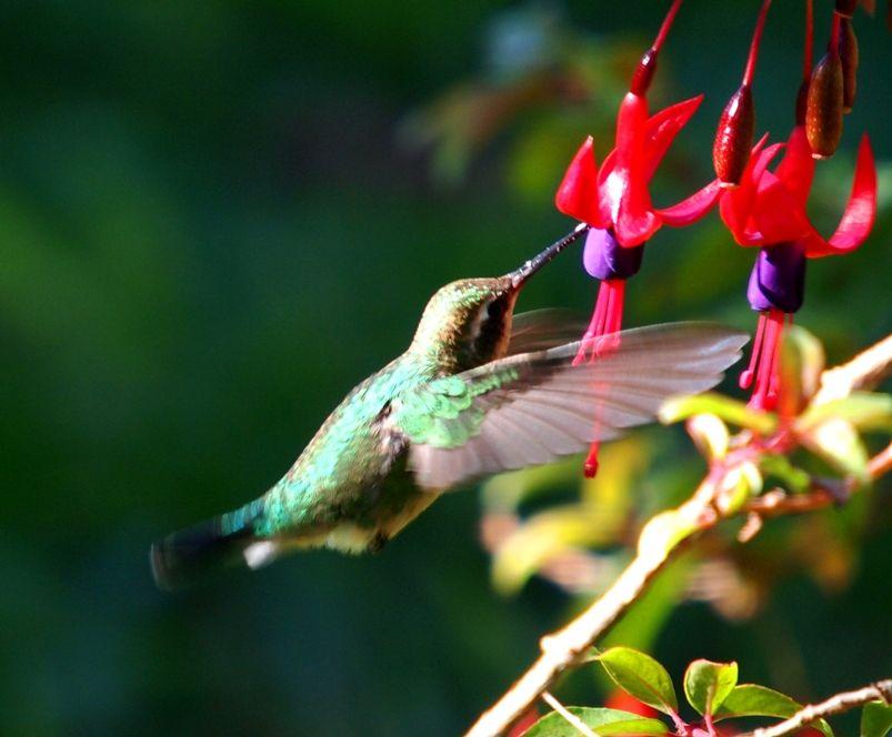 Les colibris encore!! P3263155_zps0f1225c1