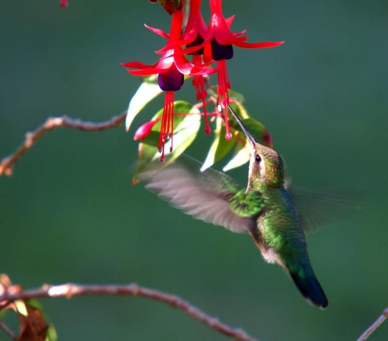 Les colibris encore!! P3263159_zps630d0170