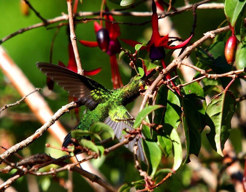 Les colibris encore!! P3263162_zpsf8911c43