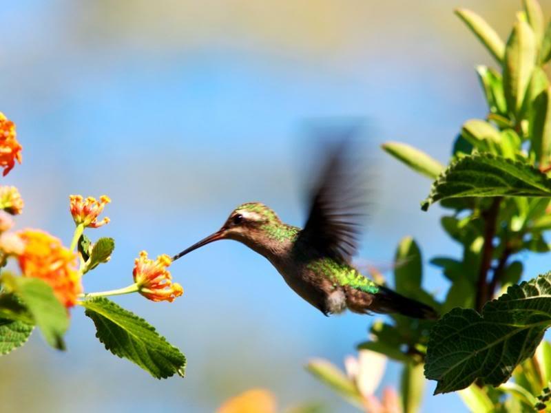 Et oui!!Encore des colibris!! P3293221_zps11bfe5b3