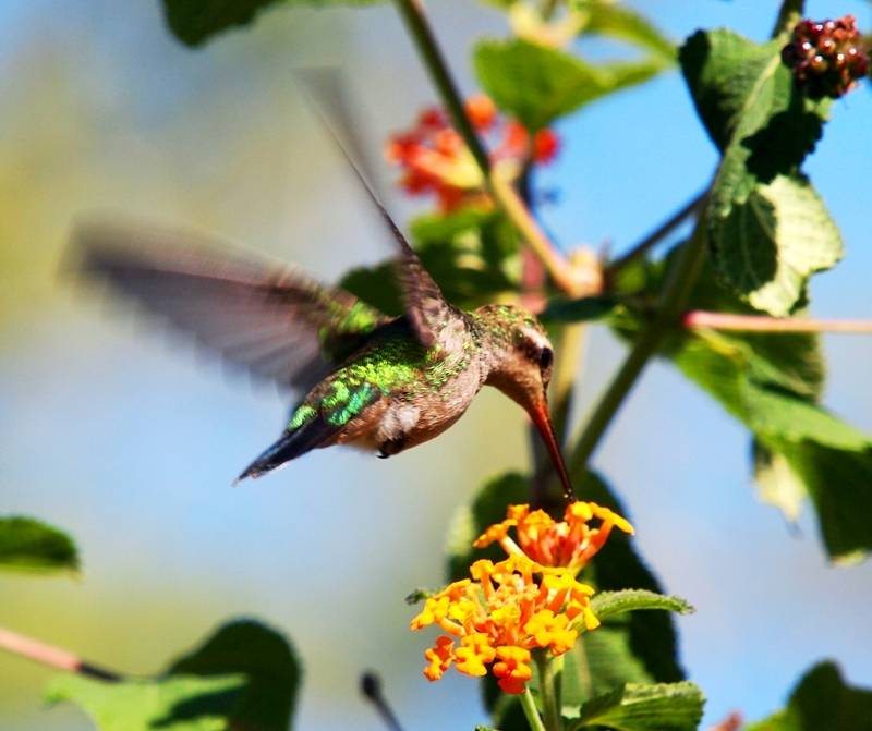 Et oui!!Encore des colibris!! P3293222_zpsefde9d4d