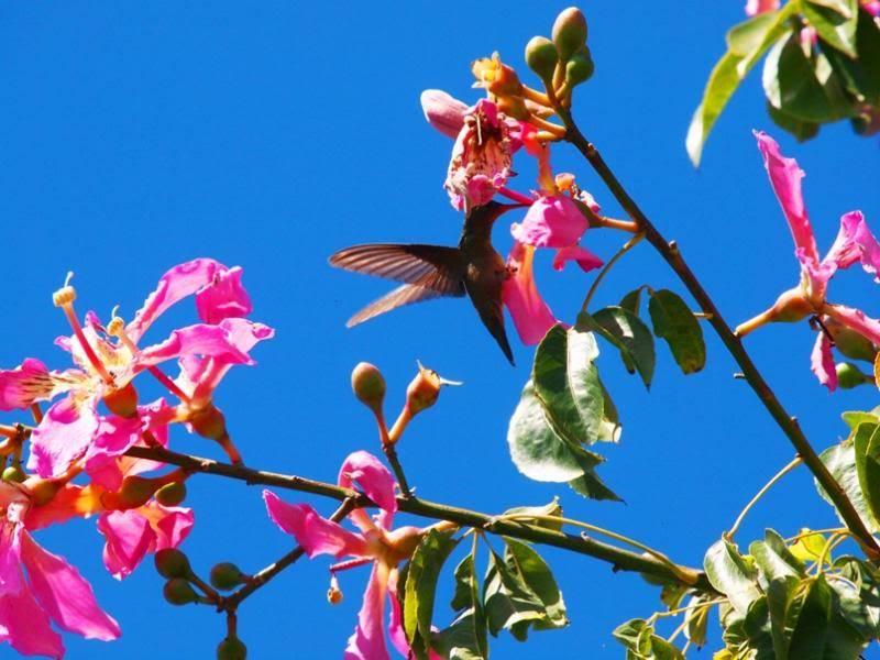 Et oui!!Encore des colibris!! P3293242_zps6573b8a0