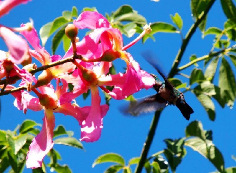 Et oui!!Encore des colibris!! P3293243_zpsf2634587