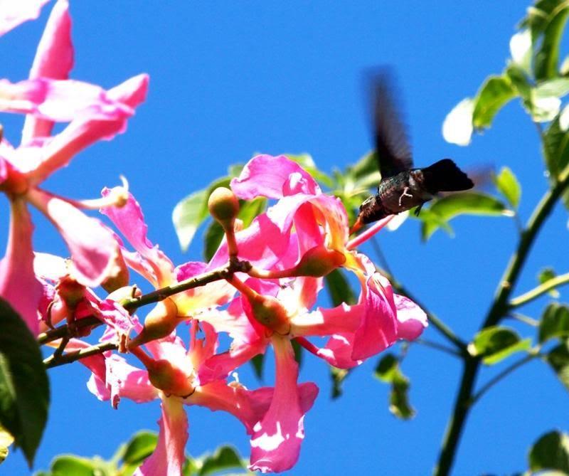 Et oui!!Encore des colibris!! P3293244_zps37ff2a2e
