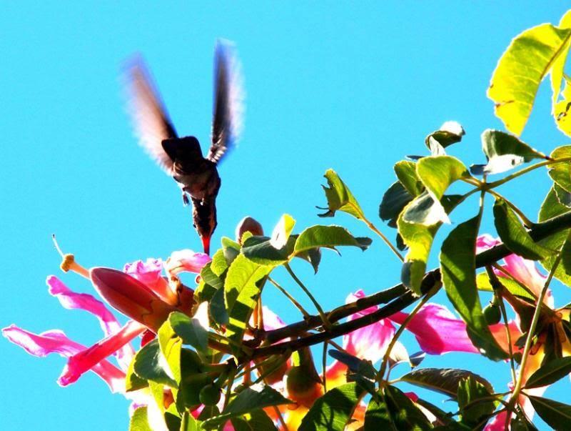 Et oui!!Encore des colibris!! P3293246_zps6730db5f