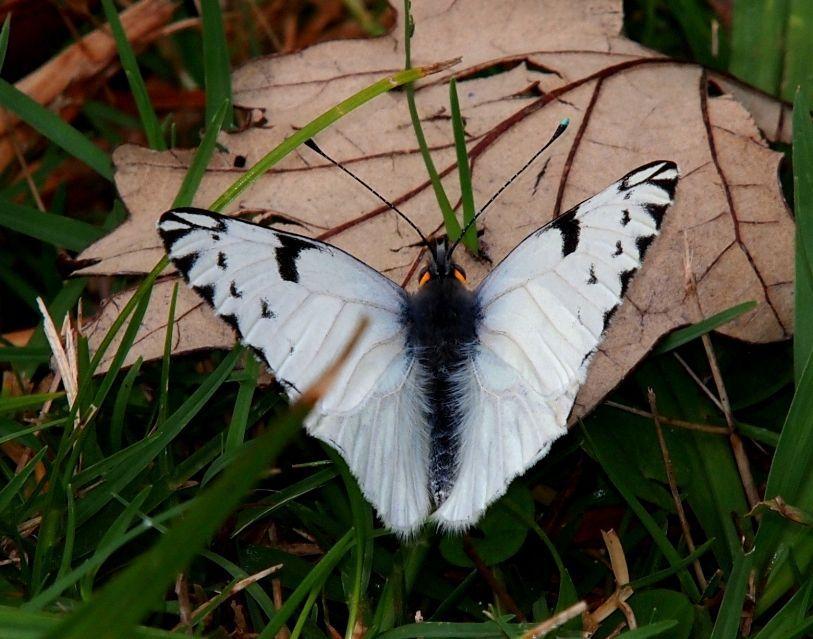 Papillon blanc!! P5033417_zpsfa0880e7
