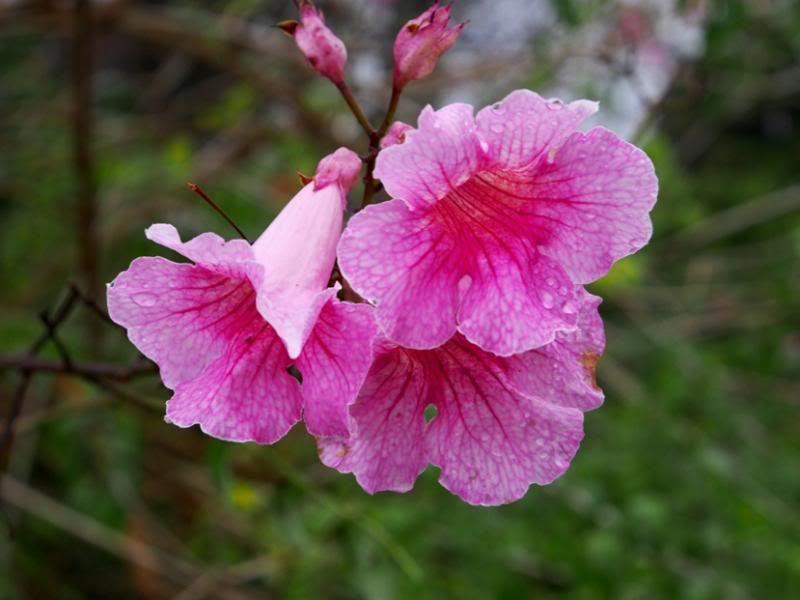Fleurs sous la pluie!! P7040007_zpsfe3e5b0f
