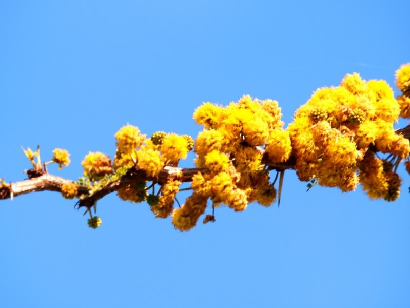 "Fleurs d'""Algarrobo"" P9211338_zpsf67170de"