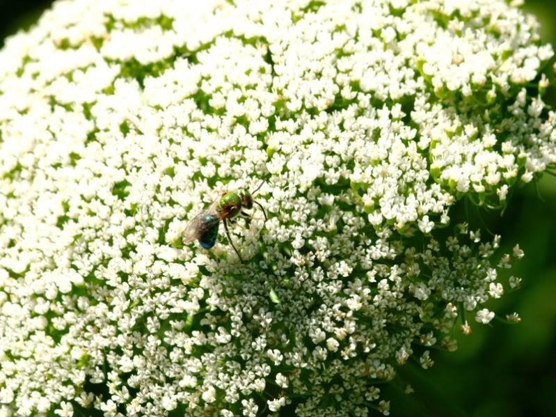 Fleurs sauvages et pas!! PC155276