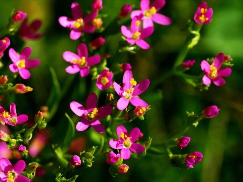 Fleurs sauvages et pas!! PC155282